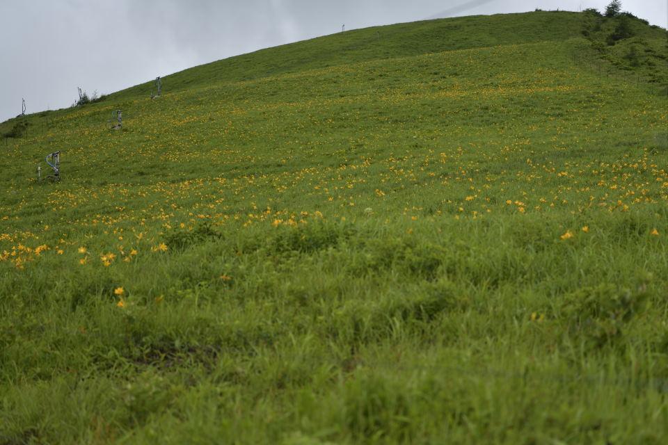 ニッコウキスゲの花畑