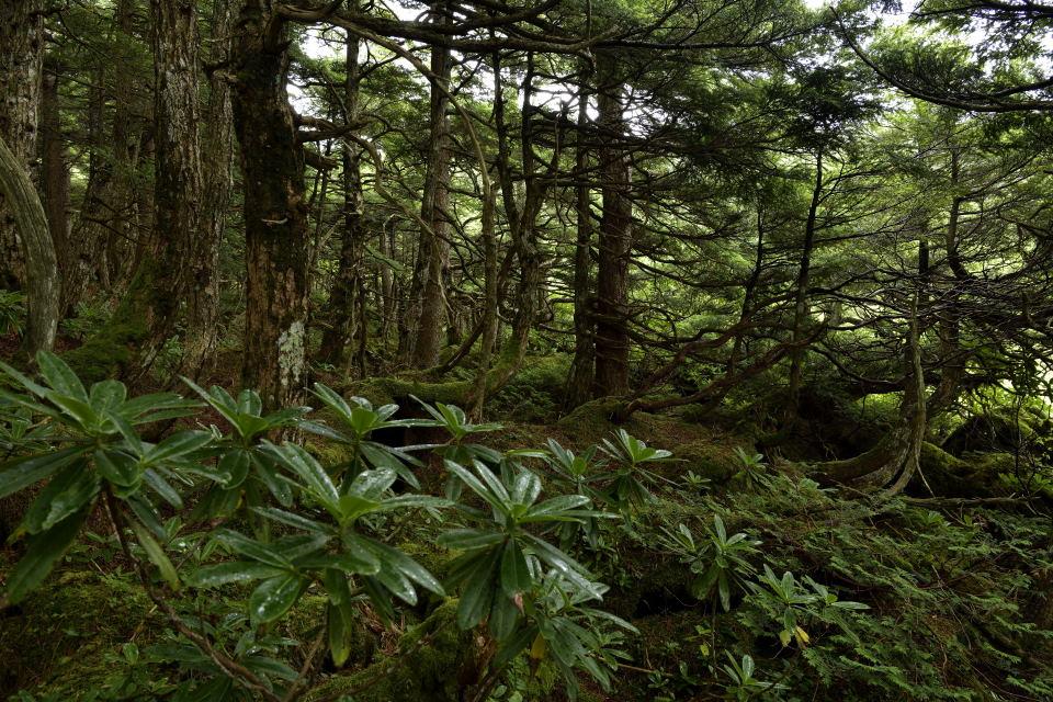 針葉樹の森