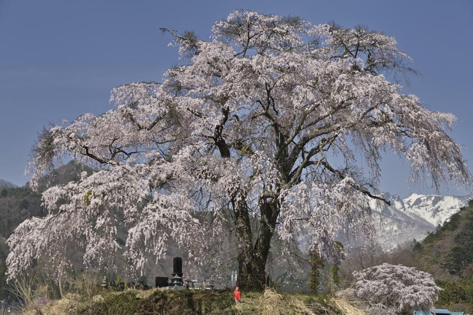 右下に写る桜が気になったので