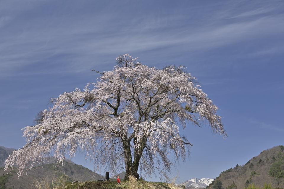 枝垂れ桜と武尊山