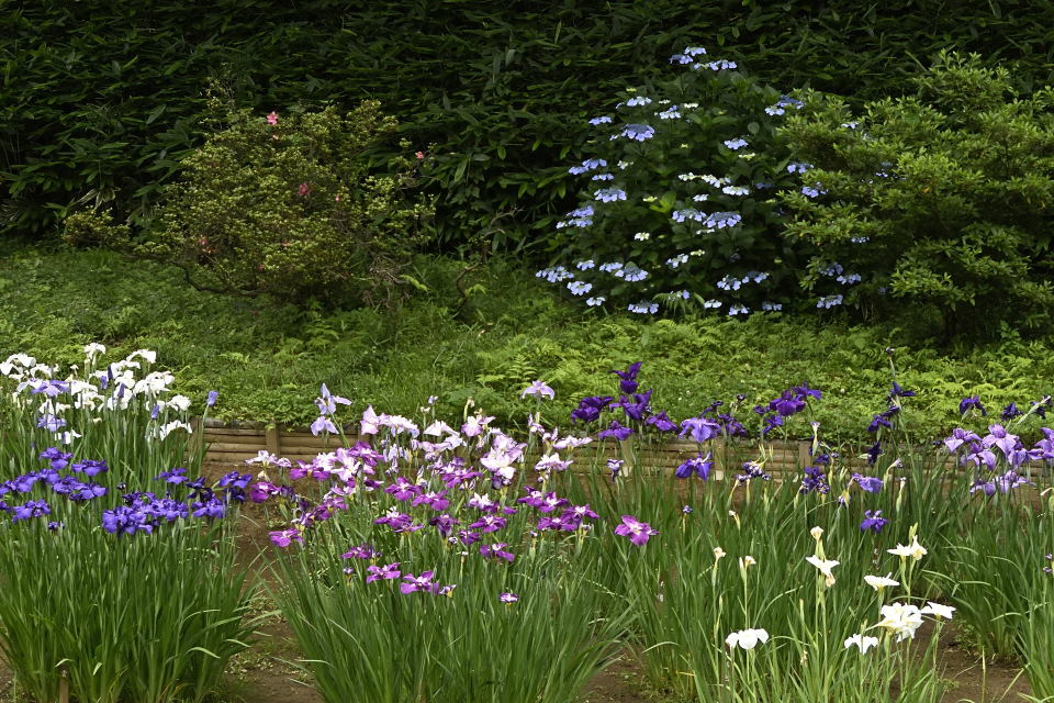 花菖蒲と額紫陽花