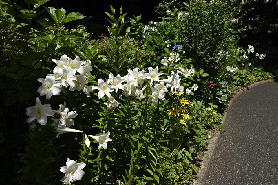花壇のユリ